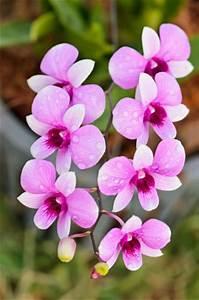 Luftwurzeln Bei Orchideen : dendrobium orchideen pflege schneiden und vermehren ~ Frokenaadalensverden.com Haus und Dekorationen