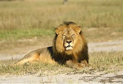 Lion African Survival