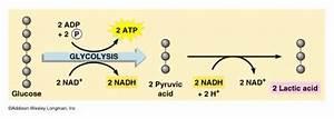 How Is Lactic Acid Produced   U2022 Myheart