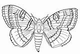 Coloring Butterfly Butterflies sketch template