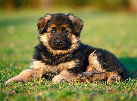 Suņu šķirnes(vācu aitu suņi) - Spoki