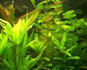 Aquarium Pflanzen Schnellwachsend : pflanzen set f r 600 800 l aquarium wasserpflanzen kv aquaiumpflanzen ebay ~ Frokenaadalensverden.com Haus und Dekorationen