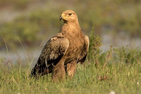 Adler Foto & Bild | tiere, wildlife, wild lebende vögel Bilder auf fotocommunity