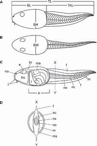 Tadpole Body Plan  A  B  And Anatomy  C   A  B  Schematic