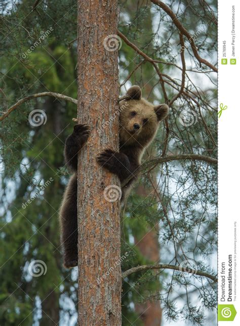 brown bear climbing tree  forest royalty  stock