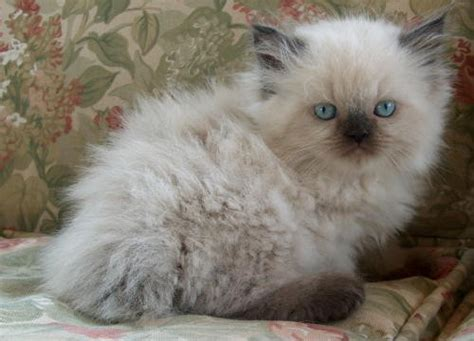 Baby Himalayan Kittens  33 Pictures  Funny Cat Dompictcom