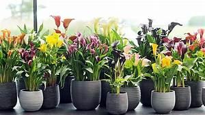 Pflegeleichte Zimmerpflanzen Mit Blüten : calla zantedeschia gedeiht mit diesen pflege tipps besonders gut ~ Eleganceandgraceweddings.com Haus und Dekorationen