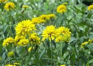 Gelbe Sommerblumen Mehrjährig : sonnenhut rudbeckia stauden und sommerblumen ~ Frokenaadalensverden.com Haus und Dekorationen