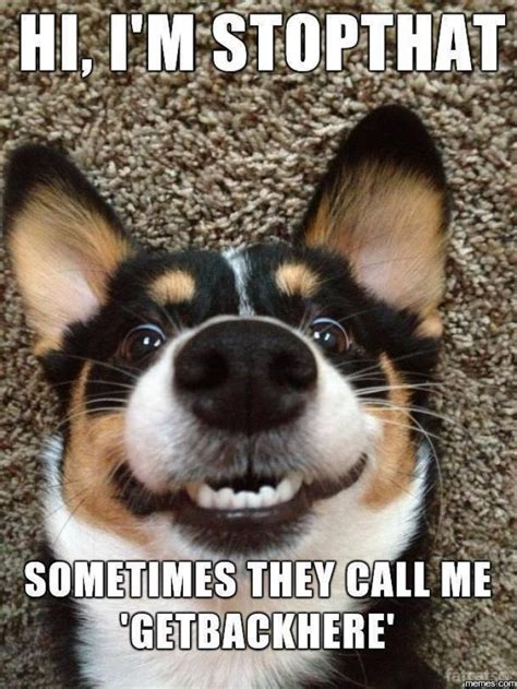 Funny Dog Meme - hi im stopthat funny dog meme