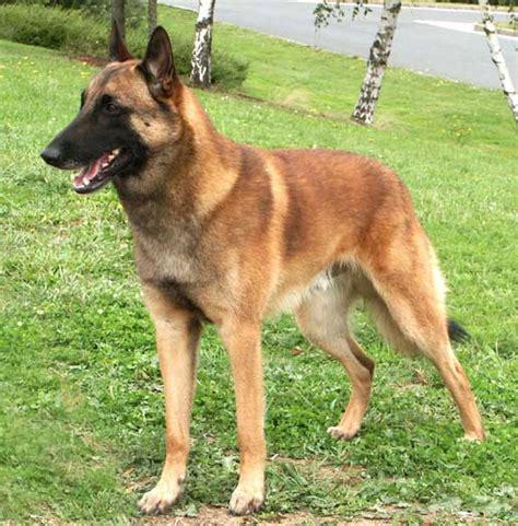 le berger ls canada annuaire des races de chien education canine aix