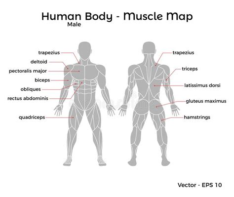 Major muscles of the body, with their common names and scientific (latin) names your job is to diagram and label the major muscle groups, for both the anterior (frontal) view and the posterior (rear) view anterior muscle list human body and diagram of skeletal muscles leg muscles. Muscles German Names Chart Muscular Male Body Stock Vector ...