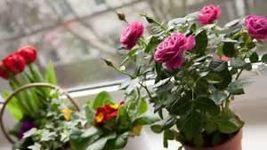 Rosen Im Topf Pflege : rosen pflegen rosen pflegen klein henry verlag eugen ~ Lizthompson.info Haus und Dekorationen
