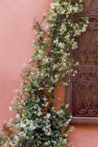 Immergrüne Kletterpflanzen Winterhart : 129 best kletterpflanzen garten images on pinterest ~ Eleganceandgraceweddings.com Haus und Dekorationen