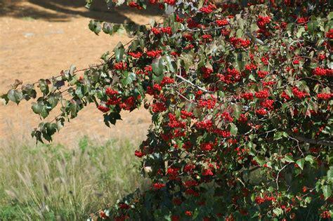 washington hawthorn washington hawthorn trees characteristics and care