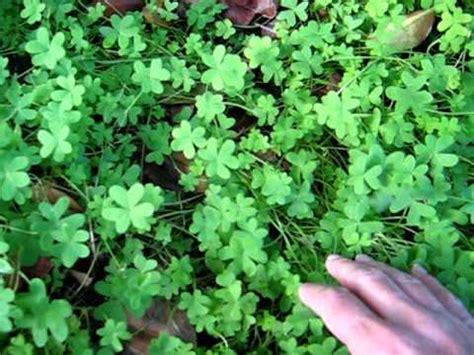 four leaf clover plant for sale how to grow a four leaf clover youtube