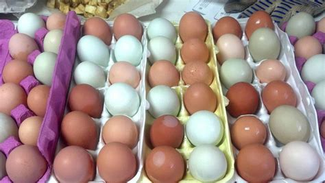 colored eggs 5 chickens to raise for colored eggs pered chicken