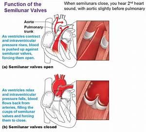 Heart Anatomy  Chambers  Valves And Vessels   Anatomy