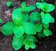 Cultiva Hierbabuena (Mentha spicata) en tu huerto ahora ...