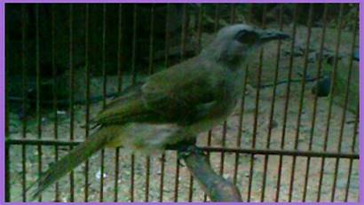 Trucukan Burung Menjinakkan Cara