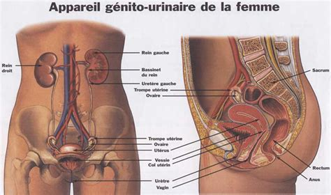 corps humain organes femme
