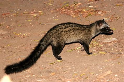 asian palm civet facts habitat diet life cycle baby