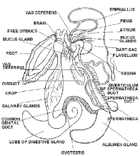 reproductive system  pila snail