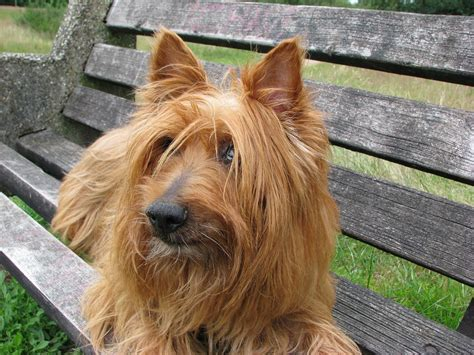 Free P O Australian Terrier Dog Terrier Free Image On Pixabay
