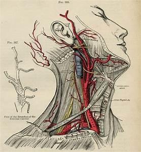 Human Head Human Body Anatomy Illustration 1887 Color