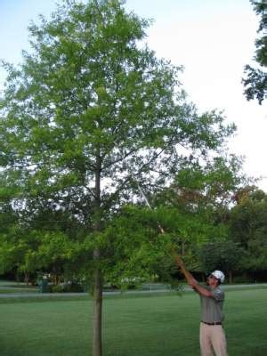 pruning formative pruning  young trees  essential