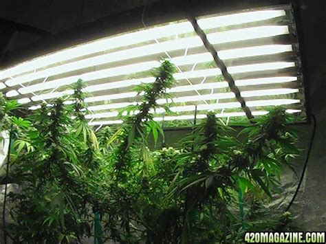 growing weed with fluorescent lights show me your t5 fluorescent light grow