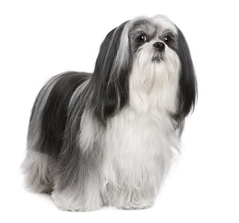 17 best images about lhasa apso on pinterest sweet
