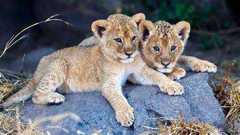 unfassbar schwedischer zoo gesteht neun gesunde junge