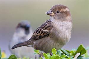 Discouraging and Controlling House Sparrows