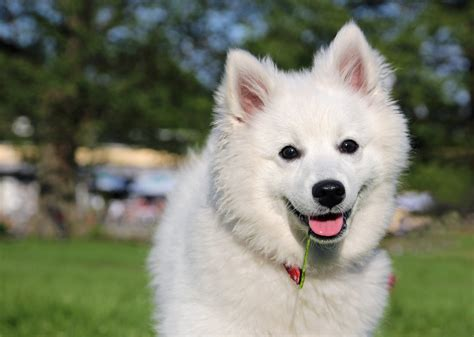 American Eskimo Dog Pictures Wallpapers9