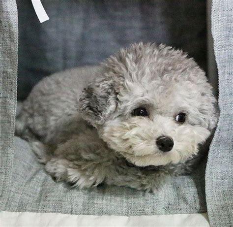 silver toy poodle teddy bear cut wow blog