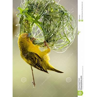 Weaver Bird Stock Photography - Image: 6072222