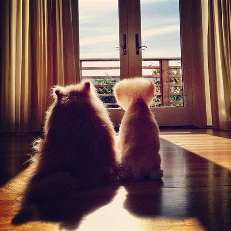 boo  pomeranian    worlds cutest dog