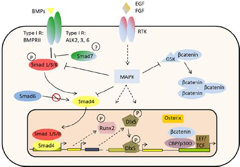 Canonical Osteodifferentiation Pathway Mediated By Bmps