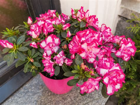 how to grow azaleas saga