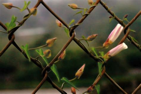 plants that grow up fences plants that grow on fences covering chain link fences with vines growing plants chain links