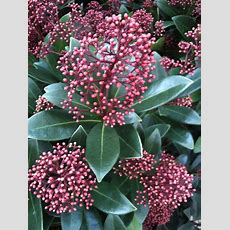 Buy Skimmia 'rubella' From Jacksons Nurseries For Uk