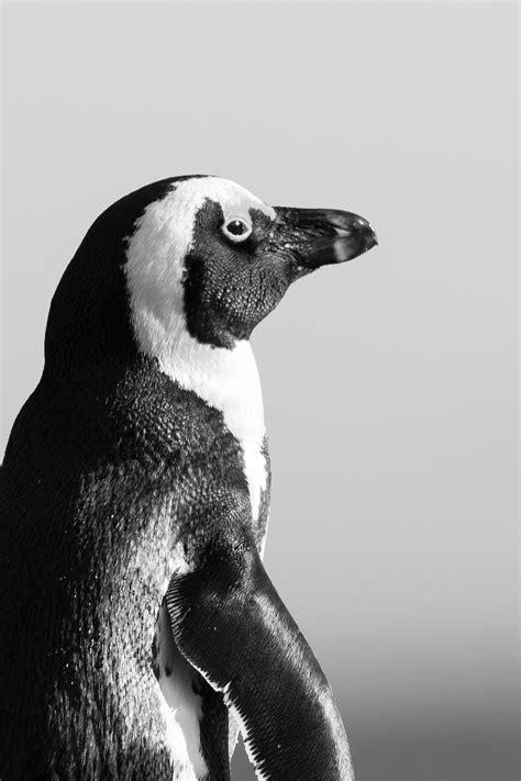 black  white penguin  stock photo