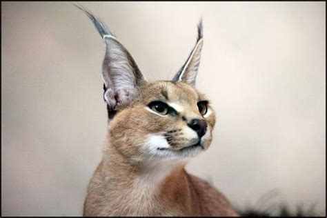 Through Golden Eyes Small Cats With Big Ears Arrive At