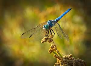 Dragonfly L by The Blue Dragonfly Photograph By Saija Lehtonen