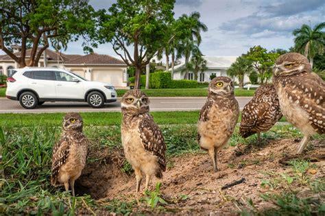 burrowing owls   family  door   florida