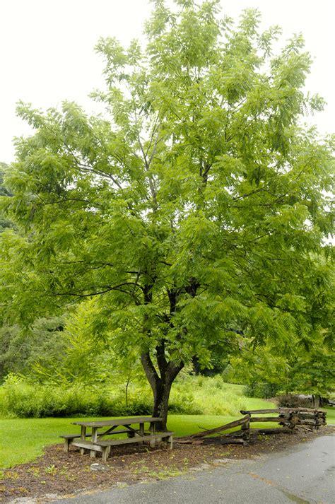 walnut tree trees toe river club natural history inventory