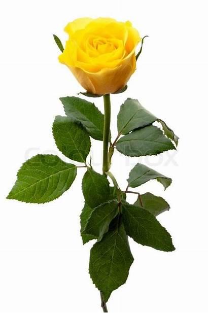 Yellow Rose Single Roses Colourbox Flower Flowers