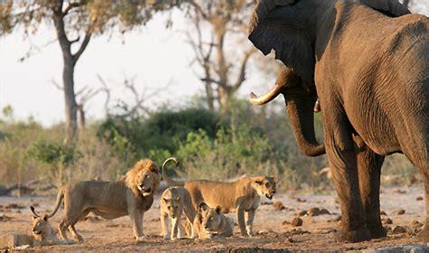 elefante espantando  una manada de leones animales en video