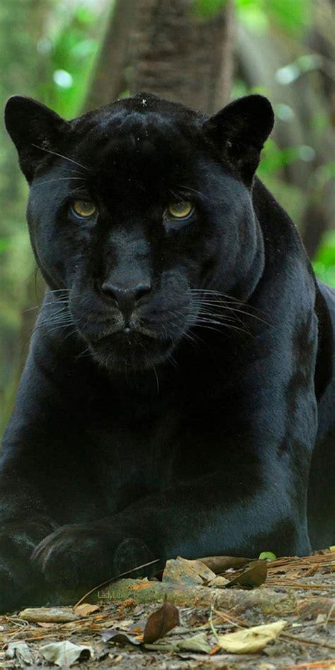 Best Black Panthers Images Pinterest Big Cats