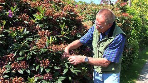 Wann Schneidet Rhododendron by Rhododendron Schneiden Zeitpunkt Rhododendron Schneiden